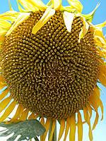 Семена подсолнечника Сонячный Настрий