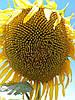 Семена подсолнечника Сонячный Настрий, фото 2