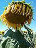 Семена подсолнечника Заграва, фото 2