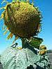 Семена подсолнечника Украинский Ф1, фото 2