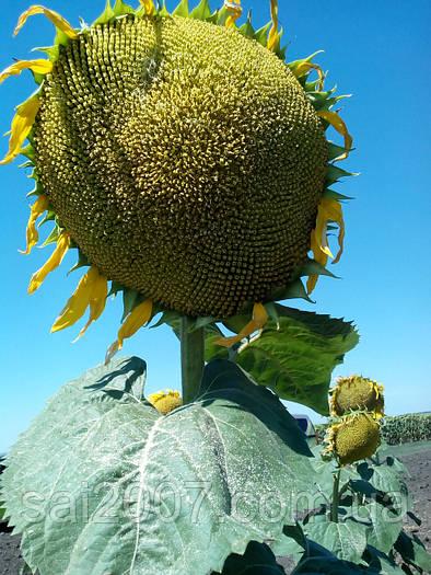 Семена подсолнечника Украинский Ф1