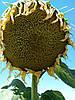 Насіння соняшнику Дракон, фото 2