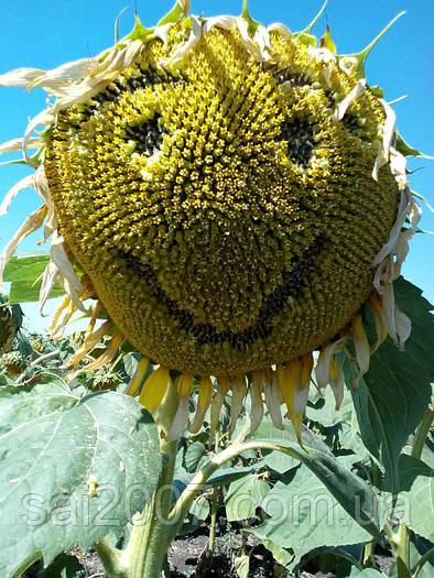Семена подсолнечника Мир (сорт)