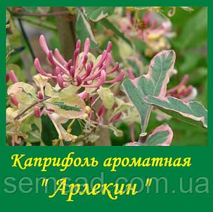 """Каприфоль Жимолость"""" Пестролистая Арлекин"""" ( саженцы 1 года), фото 2"""
