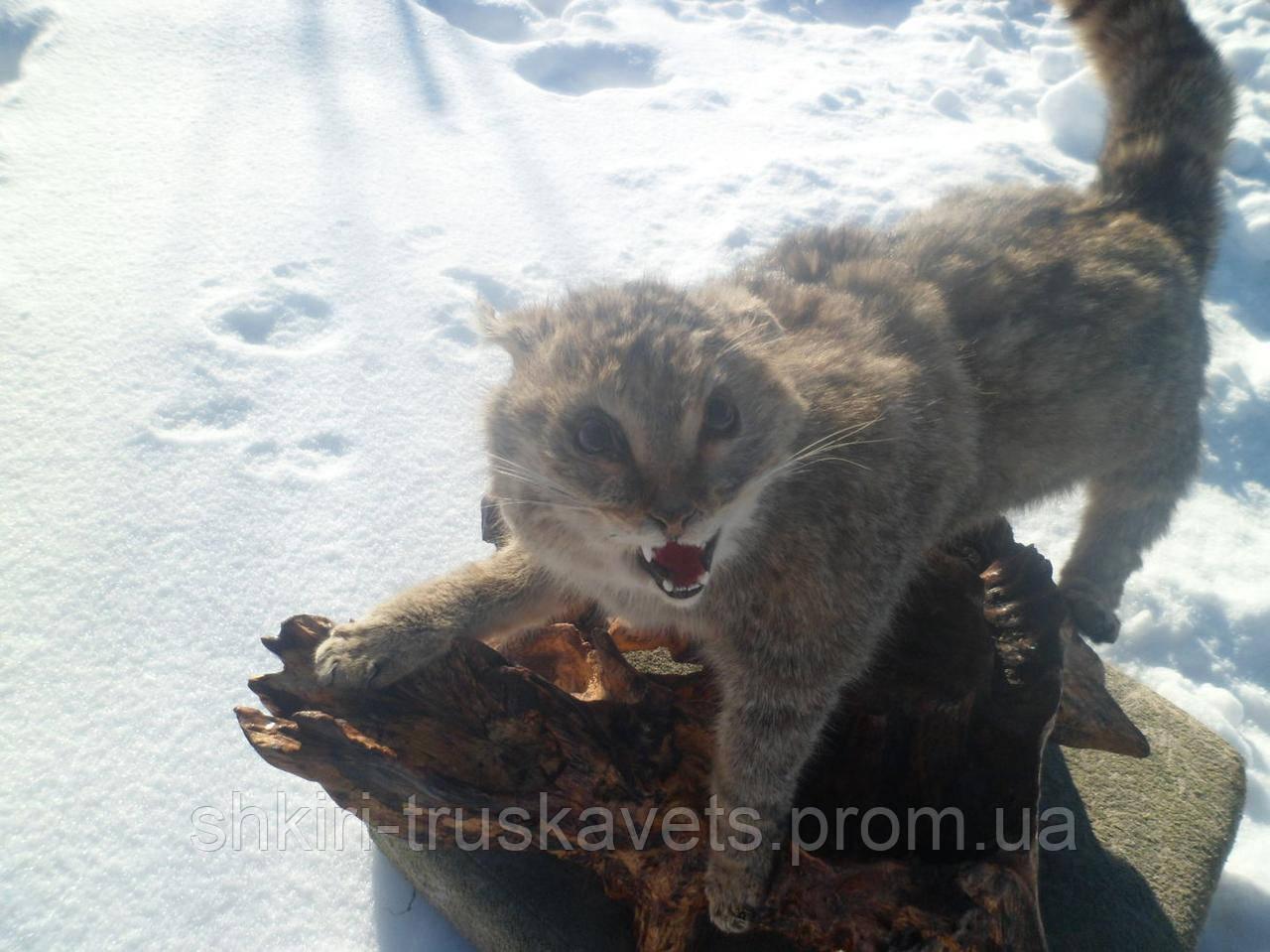 Чучело, кот камышовый, 2, цвет серый, карпатский, напольное - Шкiри Трускавець, ЧП в Львовской области