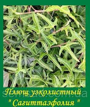 """Плющ садовый узколистный Сагитаэфолия \ Hedera helix  """" Sagittaefolia"""" ( саженцы , фото 2"""