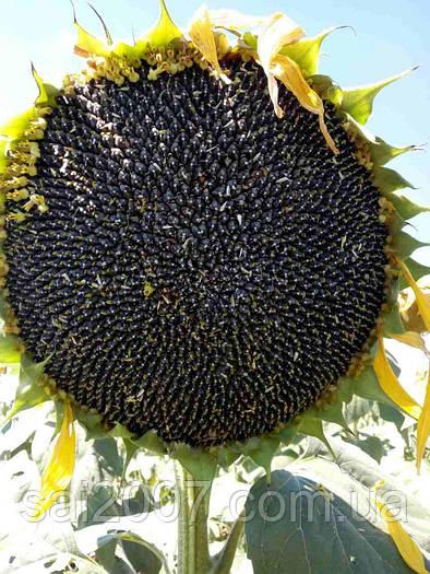 Семена подсолнечника Карлос 105 (Алего)