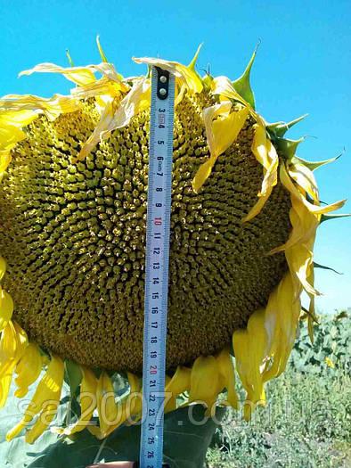 Семена подсолнечника Карлос 115 (Неома)