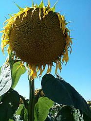 Семена подсолнечника Одисей (Экстра)