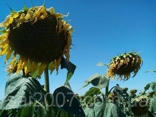 Семена подсолнечника Ясон гибрид №1