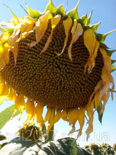 Семена подсолнечника Крепыш (Сорт)