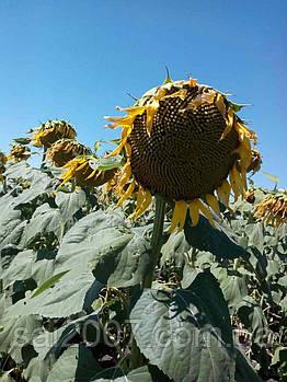 Семена подсолнечника Терра  французская селекция