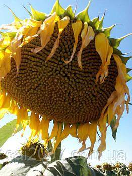 Семена подсолнечника Жалон (экстра )