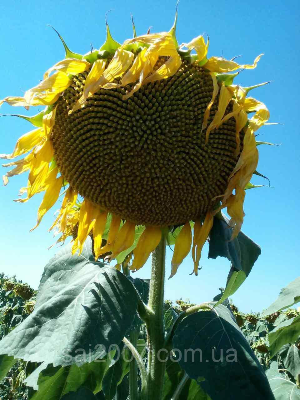 Семена подсолнечника Аламо
