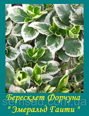 """Бересклет Форчуна """" Эмеральд Гаити """" ( саженцы р9), фото 2"""