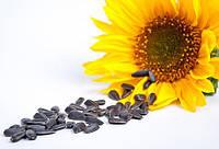 Семена подсолнечника  ЛГ 5542