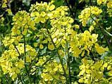 Гірчиця жовта, 1 кг, фото 2