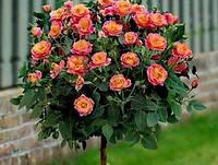 Розы на штамбе (orange)