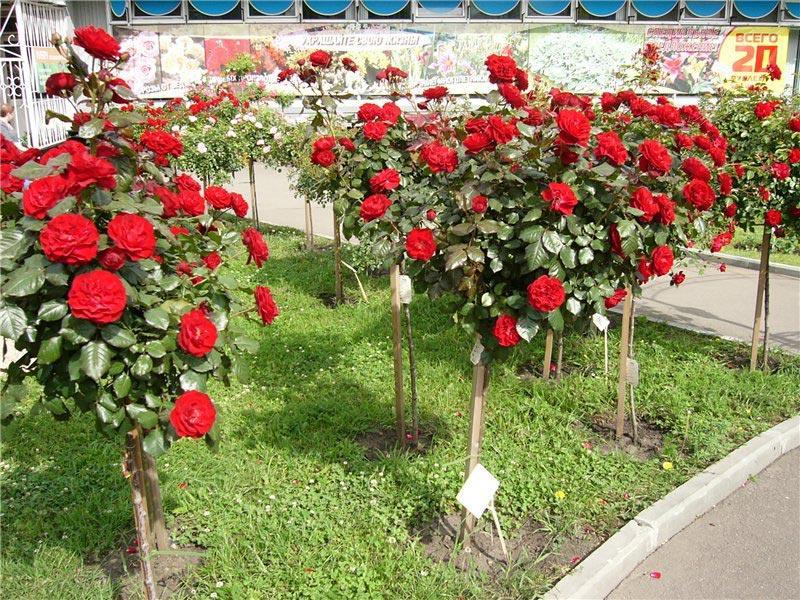 Картинки по запросу Штамбовые розы