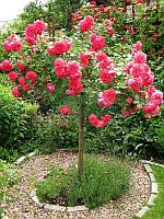 Розы на штамбе (orange 2)