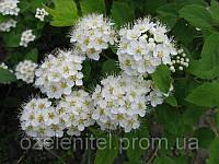Пузыреплодник калинолистный / Physocarpus opulifolius / Пузироплодник калинолистий