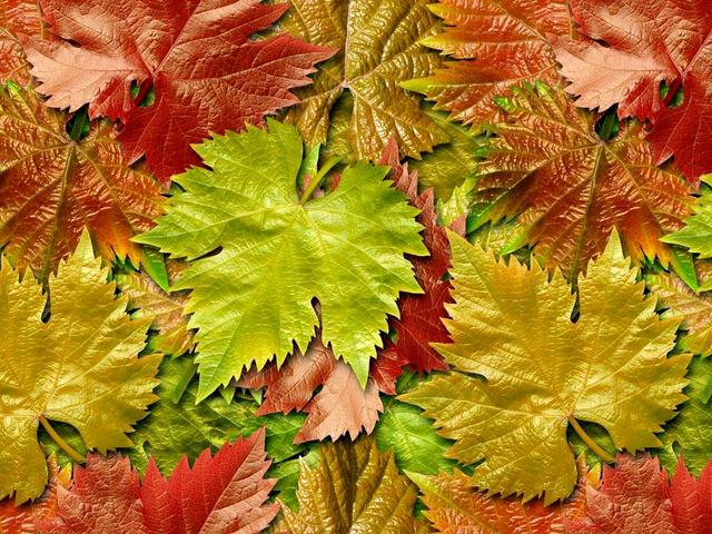 Листья красного винограда