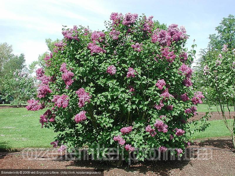 Сирень обыкновенная / Syringa vulgaris / Бузок звичайний