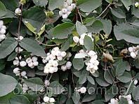 Снежноягодник белый/ Symphoricarpos albus