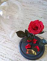 Красная Роза в Колбе алый рубин - Belle Rose