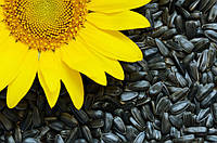Семена подсолнечника Одиссей стандарт