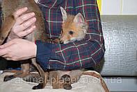 Домашняя ручная лисичка, щенки рыжей лисы