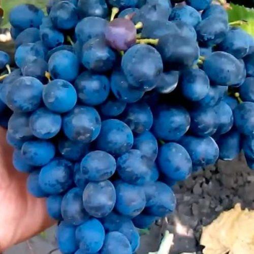 Виноград Гузаль кара