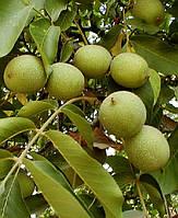 Саженцы грецкого ореха Казаку