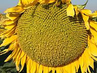 Семена подсолнечник сорта