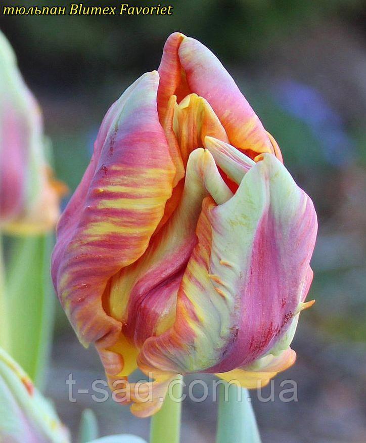 Тюльпан попугайный Blumex Favoriet (Blumex Любимый)