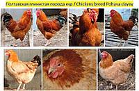Куры Полтавской глинистой, яйцо инк., цыплята, молодняк