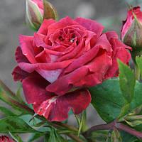 Троянда мініатюрна Коричнева матова