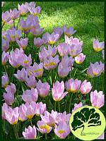 Тюльпан ботанический Lilac Wonder (10шт)