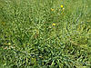 Практична технологія обробки ґрунту та всього циклу для озимого ріпаку інтенсивного типу для високих врожаїв при збиранні.
