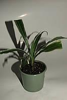 Драцена деремская, или душистая (Dracaena deremensis )