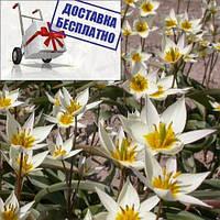 Луковицы тюльпана ботанического Turkestanica