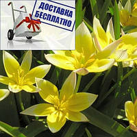 Луковицы тюльпана ботанического Tarda