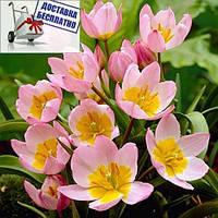 Луковицы тюльпана ботанического Lilac Wonder
