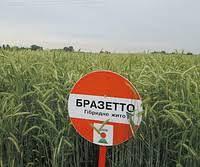 Семена Рожь озимая Бразетто KWS, Германия/ Жито озиме потенціал 102,9