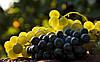 В Украине стартовал сезон продажи винограда местного производства