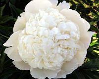 White Рeony рhytessence 10гр (Экстракт белого пиона )