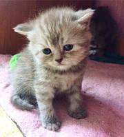 Шотландские котята от титулованых родителей