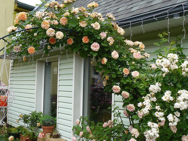 Саженцы плетистых роз.