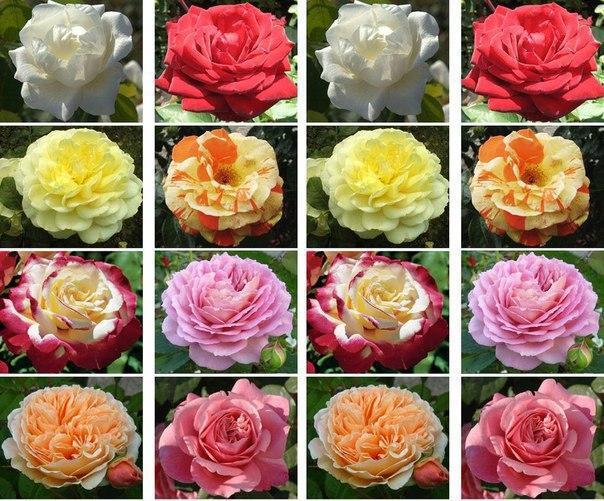 Саженцы роз чайно-гибридных сортов