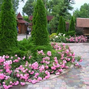Саженцы почвопокровных и бордюрных роз.